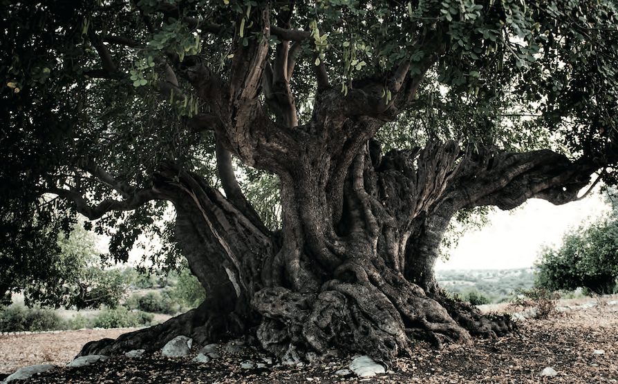 albero carrubbo