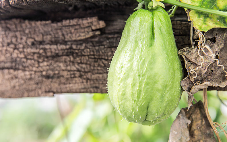 Zucca Chayote o  Zucchina spinosa